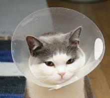 エリザベスカラー 猫