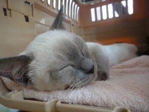 猫 キャリー 寝る